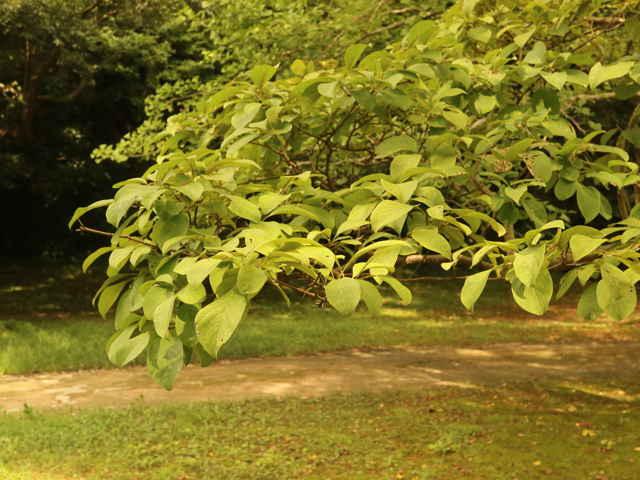 ヒトツバタゴの画像 p1_35